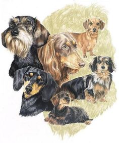 Dachshund Drawing - Dachshund