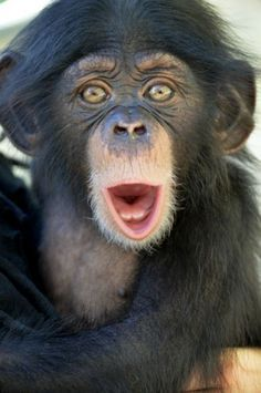 """Orphaned Chimpanzee Ruben Finds New Home, Surrogate Mother At Oklahoma City Zoo (PHOTOS) """"Oh look someone took a picture of me! Damn, why did they have to score that goal! Primates, Mammals, Cute Baby Animals, Animals And Pets, Funny Animals, Oklahoma City Zoo, Regard Animal, Photo Animaliere, Cute Monkey"""