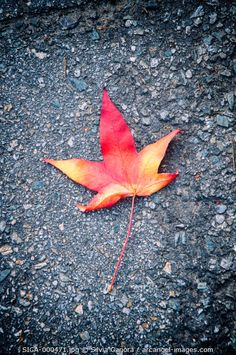 Fallen autumnal maple leaf on asphalt- ©Silvia Ganora Photography - All Rights Reserved  #bookcovers #leaves