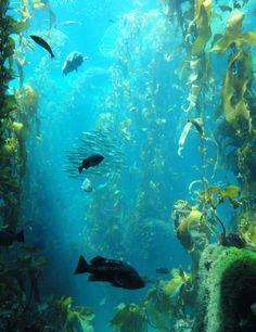 kelp forest | File:Kelp Forest - MBA - DSC06945.JPG - Wikimedia Commons