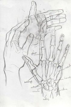 Anatomy Drawing Tutorial the leading tone - Hand Drawing Reference, Anatomy Reference, Art Reference Poses, Drawing Hands, Design Reference, Drawings On Hands, Bee Drawing, Skeleton Drawings, Anatomy Sketches