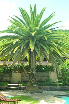 Phoenix Plant   Phoenix canariensis (Canary Date palm)