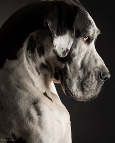 Hugo Great Dane Service Dog Project Photos Videos Great