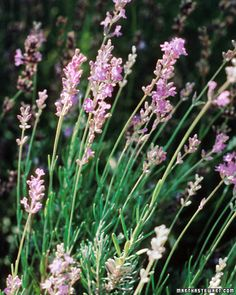 Helpful Tips for Growing Lavender