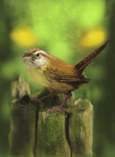 Carolina wren by *Bullfinchcomic on deviantART