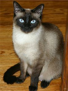 The colorpoint pattern is most commonly associated with Siamese cats, but may also appear in any domesticated cat. A colorpointed cat has dark colors on the face, ears, feet, and tail, with a lighter version of the same color on the rest of the body, and possibly some white.
