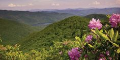 The rhododendron has been a symbol of the Blue Ridge for centuries, and every summer, it covers our hillsides with color.
