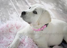 Elegant Reflections Photography and Design Reflection Photography, Four Legged, Snuggles, Labradors, Labrador Retriever, Puppies, Elegant, Animals, Butterflies