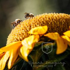 Two bees on a sunflower