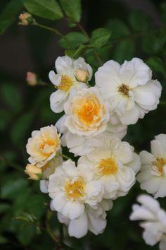 Rosa 'Goldfinch'