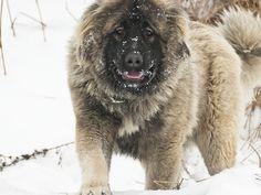 W rozporządzeniu dotyczącym agresywnych ras psów wymieniono 11 ras, których przedstawicieli można mieć i hodować wyłącznie za specjalnym pozwoleniem. Według Ministerstwa Spraw Wewnętrznych i Administracji psy w typie rasy uznanej za niebezpieczną oraz mieszańce tych ras w magiczny sposób łagodnieją – w myśl zarządzenia agresywne są tylko psy rasowe o udokumentowanym pochodzeniu.