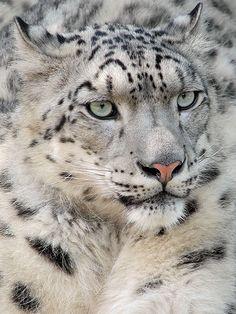 Snow Leopard von Milan Vorisek auf Flickr.