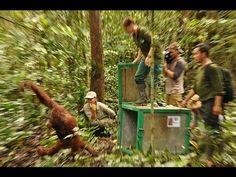 BOS Nyaru Menteng 4th Orangutan Release - YouTube