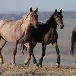 Wild Horses: Wild Horse Groups Oppose Wyoming State Intervention
