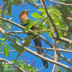 """La ardilla cuco no es una ave fácil de ratrear, pero mira quien se apareció justo al lado del vestíbulo de uno de los hoteles."""" #observacióndeaves #vidasilvestre #naturaleza #aves, #fotografía."""