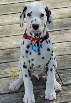 dalmatians smiling | Vixen the Dalmatian | Puppies | Daily Puppy