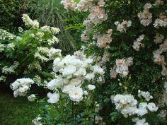 Roses & Hydrangea quercifolia in my garden