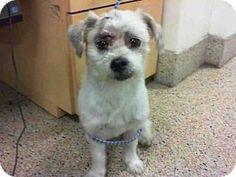 Shih Tzu Mix Dog for adoption in Miami, Florida - ANDY