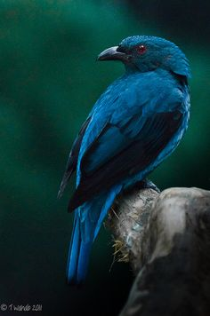 The Blue Dacnis (Dacnis cayana) is also known as the Turquoise Honeycreeper