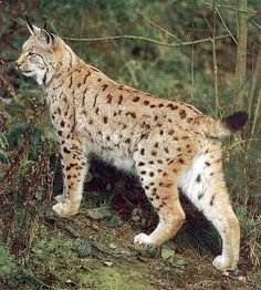 "Eurasian Lynx - The Eurasian lynx is the biggest of the lynxes. It is native to European and Siberian forests. While its conservation status has been classified as ""Least Concern"", populations of Eurasian lynx have been reduced or extirpated from western Europe, where it is now being reintroduced."