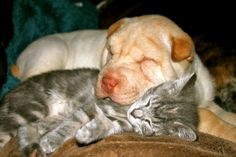 Adorable SharPei with his new BFF,Little Brittle. Kittens And Puppies, Cats And Kittens, Kittens Cutest, Cute Cats, Adorable Animals, Cat Shelters For Winter, Tame Animals, No Kill Animal Shelter, Zoo Photos