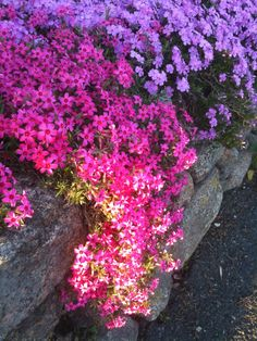 Creeping Phlox. Just plant and it grows and grows and grows. I might have to plant some on my rock wall this Spring.