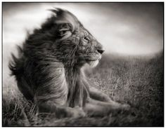 Beautiful... Lions are just so majestic! #jetsetterCurator