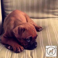 @nacha_diaz   Mommy is it bwekfist time yet?  #boxergram #boxer #boxers #boxerpuppy #boxerpuppies #boxerdog #boxersofinstagram #boxerdogs #dog #dogs #puppy #puppies #pet #pets #cute #animals #weeklyfluff #boxeraddict #boxerlove by boxergram