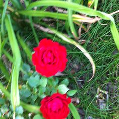 Red roses from mu front yard