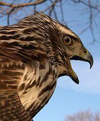 A Juvenile Northern Goshawk (Accipiter Gentilis) - #NorthernGoshawk