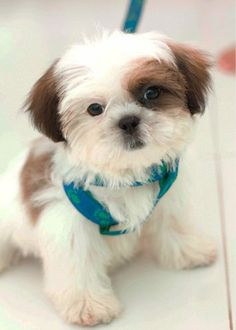 Adorable Cute Shih Tzu Puppy