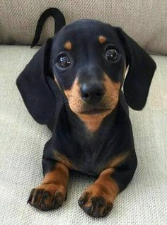and puppies Cute Dachshund Puppy 💖 Black Dachshund, Dachshund Funny, Dachshund Puppies, Weenie Dogs, Dachshund Love, Cute Dogs And Puppies, Cutest Dogs, Doggies, Puggle Dog
