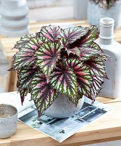 Mixed Colors Begonia Seeds,Potted Flower Seeds,Begonia Plants For Garden Greenhoue,Variety Complete,The Budding Rate Shade Garden Plants, Buy Plants, House Plants, Unique Plants, Cool Plants, Flower Seeds, Flower Pots, Inside Plants, Pink Plant