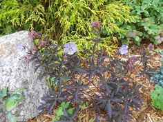 Sproutsandstuff: July Bloomers-Geranium 'Midnight Reiter'-like the leaf colour - this plant only in its second year  http://sproutsandstuff.blogspot.co.uk/p/blog-page_28.html