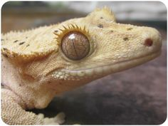 Senju, female crested gecko owned by Sierra Mason Coe