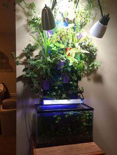 I built an aquaponic wall above my ten gallon fish tank.Aquaponics use shared water between fish and terrestrial plants, allowing the plants to remove fish poop Aquaponics Plants, Aquaponics System, Hydroponics, Aquaponics Greenhouse, Indoor Aquaponics, Diy Aquarium, Diy Playground, Plant Growth, Fish Tank