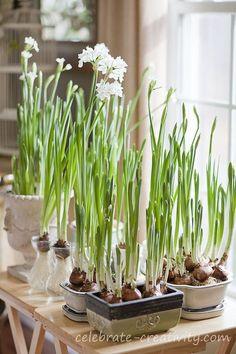 44 best paper whites images on pinterest bulbs flower paper white garden celebrate creativity mightylinksfo