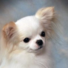 Gorgeous cream coloured long haired Chihuahua just like my little guy ❤️