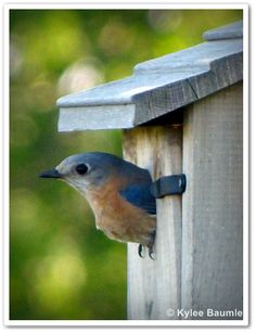 Bluebirds - made it the house and surveying the area for mealworms - I'm coming with the mealworms!!!!!!!