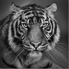 Another set of incredible pencil drawings. Older posts: Amazing Pencil Art pics) Pencil Drawings By Randy Hann pics) Pencil and Charcoal Drawings pics) Pencil and Charcoal Drawin Realistic Animal Drawings, Pencil Drawings Of Animals, Realistic Pencil Drawings, Graphite Drawings, Amazing Drawings, Cool Drawings, Amazing Art, Drawing Animals, Drawing Faces