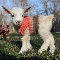baby-goats-knit-sweaters-sunflower-farm-1