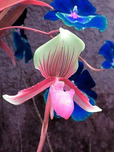 Orchids, Longwood Gardens, Imagination IMG_0082 A  Photograph by Roy Kelley using a Canon   PowerShot.Pin it : Anónimo de la Piedra.