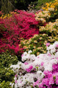 Multi colored azaleas.