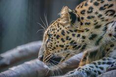 Wolfe Edwards - leopard picture - Background hd - 2048x1363 px