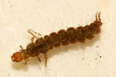 """Caddisfly(Trichoptera) larva -  """"underwater architects"""" --use silk to stick together fragments of rock to form their pupae"""