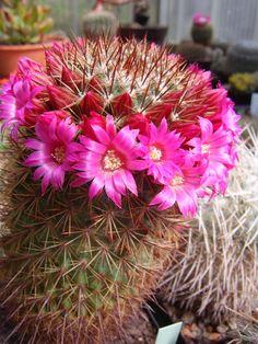 Mammillaria_hamata-012.jpg (525×700)