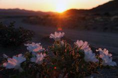 DESIERTO DE ATACAMA, CHILE. El fenómeno de floración ha sido particularmente extenso este año. Foto Afp / Carlos Aguilar