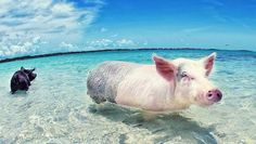 The Bahamas, a great place to swim with pigs..#pigs #swim #bahamas http://goo.gl/MlyJSB