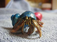 How to Create a Hermit Crab Habitat via www.wikiHow.com