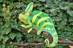 Kingsnake.com Classifieds: Premium Baby Veiled Chameleons from Driskel! One of a kind in size and color! Gorgeous Veiled Line